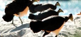 Burung Maleo - Maleo Senkawor