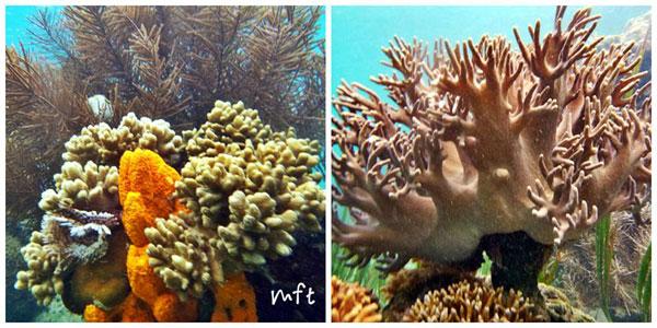 Coral di Bawah Laut Tumbak