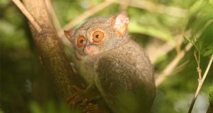 Tarsius di Taman Nasional Tangkoko Bitung