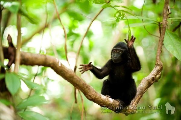 Monyet hitam Sulawesi, disebut orang lokal sebagai yaki adalah primata karismatik yang hanya terdapat di Sulawesi Utara, tidak ada di tempat lain di dunia!